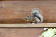 Japanese squirrel on the handrail of the wooden terrace Stock Photos