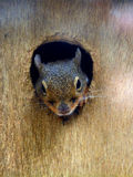 Japanese squirrel. Watching the world from his home stock image