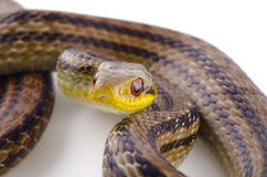 Japanese striped snake Royalty Free Stock Image