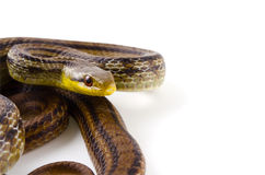 Japanese striped snake Royalty Free Stock Images