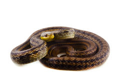 Japanese striped snake Stock Images