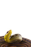 Japanese striped snake Stock Photos