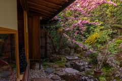 Japanese style house and garden with cherry blossom trees in full bloom season royalty free stock photos