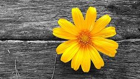 Japanese sunflower. Stock Image