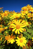 Japanese sunflower, Tree marigold field in Thung Buatong, Mae Ho Royalty Free Stock Image