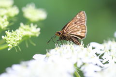 Japanese swift butterfly Royalty Free Stock Photo