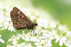 Japanese swift butterfly Stock Photography