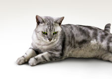 Japanese Tabby Cat. With gree eyes on white background isolated royalty free stock image