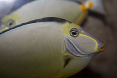 Japanese tang's face Stock Images
