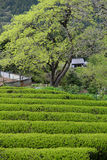 Japanese tea farm on mountain Royalty Free Stock Photography