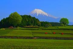 Japanese Tea Field of `Oobuchi Sasaba` in Fuji City and Mt. Fuji Japan Stock Image