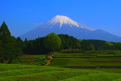 Japanese Tea Field of `Oobuchi Sasaba` in Fuji City and Mt. Fuji Japan Royalty Free Stock Image