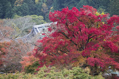 Japanese temple roof with colorful of maple leaves in autumn Stock Photo