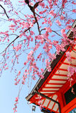 Japanese temple and sakura Royalty Free Stock Photography
