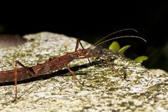 Japanese thorn stick insect Royalty Free Stock Images