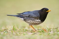 Japanese Thrush Royalty Free Stock Photo