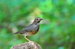 Japanese Thrush Bird Stock Photo