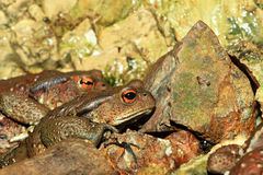 Japanese toad Stock Photo