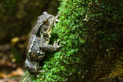 Japanese toad on Tree trunk Royalty Free Stock Images