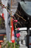 Japanese traditional architecture and tree blossom Royalty Free Stock Photo