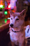 Japanese traditional dog (shiba inu dog) Royalty Free Stock Photos