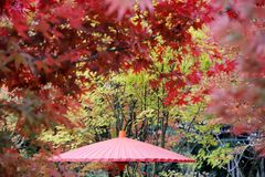 Japanese traditional red umbrella. With autumn leaves Royalty Free Stock Image