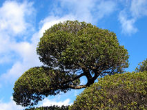Japanese tree. Against the cloudy sky Stock Images