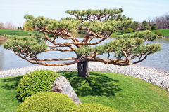 Japanese Tree. Botanical gardens with Japanese tree in foreground Royalty Free Stock Photo