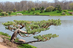 Japanese Tree. Botanical gardens with Japanese tree in foreground Stock Photos