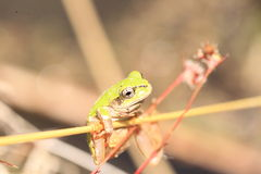 Japanese tree frog Stock Photos