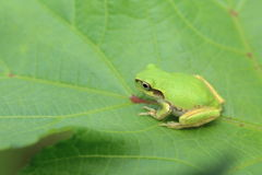 Japanese tree frog on the leaf of okra Royalty Free Stock Photos