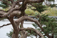 Japanese tree at a Japanese Teahouse Royalty Free Stock Photo