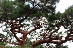 Japanese Tree Royalty Free Stock Photo