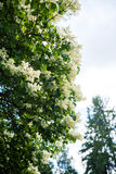 Japanese tree lilac branches Stock Photo