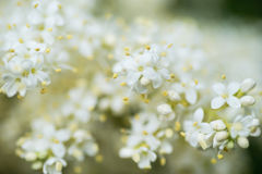 Japanese tree lilac branches. Macro photography of Japanese tree lilac, Syringa reticulata branches full of flowers in the summertime Stock Image