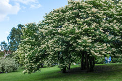 Japanese tree lilac. Closeup of Japanese tree lilac, Syringa reticulata tree full of flowers in the summertime stock photography