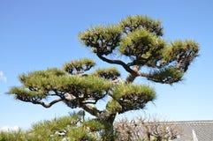 Japanese tree Royalty Free Stock Photography