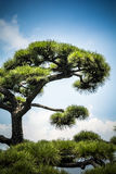 Japanese tree and sky Royalty Free Stock Photos