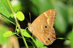 Japanese Treebrown Royalty Free Stock Images