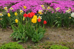 Japanese Tulips and Purple Flowers Carpenter Stock Image