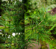 Japanese umbrella-pine Royalty Free Stock Photo