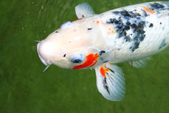 Japanese variegated carps Royalty Free Stock Photography