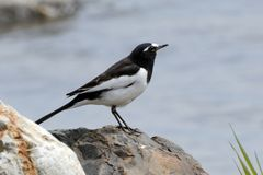 Japanese wagtail, Kyoto, Japan. Japanese wagtail is a common bird in Japan royalty free stock photography