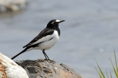 Japanese wagtail, Kyoto, Japan. Japanese wagtail is a common bird in Japan royalty free stock image
