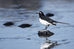 Japanese Wagtail Royalty Free Stock Images