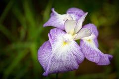 Japanese water iris Royalty Free Stock Image