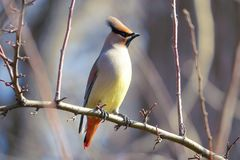 Japanese Waxwing. The close-up of a Japanese Waxwing stands on branch. Scientific name: Bombycilla japonica Stock Images