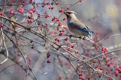 Japanese Waxwing. A Japanese Waxwing eats the fruits of Honeysuckle. Scientific name: Bombycilla japonica Royalty Free Stock Photos