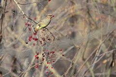 Japanese Waxwing. A Japanese Waxwing eats the fruits of Honeysuckle. Scientific name: Bombycilla japonica Stock Photo