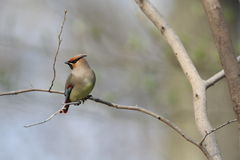 Japanese Waxwing Royalty Free Stock Images